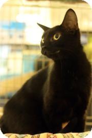 Domestic Shorthair Cat for adoption in Keller, Texas - Ellie