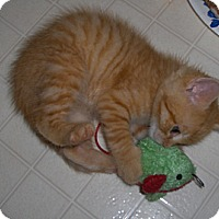 Adopt A Pet :: Cheddar - Richmond, VA