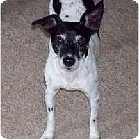 Adopt A Pet :: Sugar Poo - Oklahoma City, OK