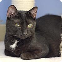 Adopt A Pet :: Sponge - Chicago, IL