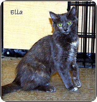 Domestic Mediumhair Kitten for adoption in Yuba City, California - Ella