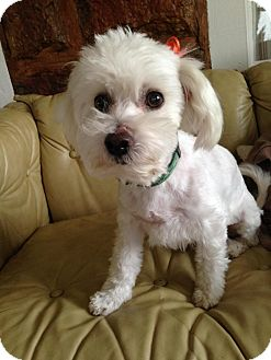 Maltese Mix Dog for adoption in Snyder, Texas - Taylor