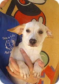 Dachshund/Chihuahua Mix Puppy for adoption in Oviedo, Florida - Peach