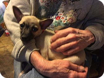 Chihuahua Mix Puppy for adoption in Gallatin, Tennessee - Gracie
