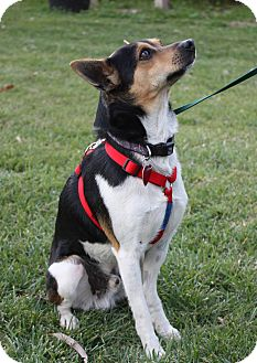 Rat Terrier Mix Dog for adoption in Winters, California - Divit