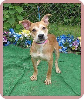 Pit Bull Terrier/Retriever (Unknown Type) Mix Dog for adoption in Marietta, Georgia - PRADA