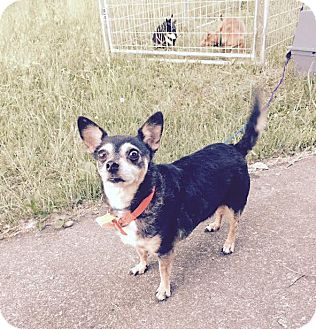 Chihuahua Mix Dog for adoption in Sharon Center, Ohio - Roxie