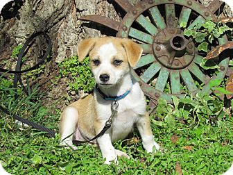 Chihuahua Mix Puppy for adoption in Reynoldsburg, Ohio - PARKER