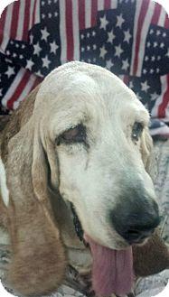 Basset Hound Dog for adoption in Acton, California - Doreen