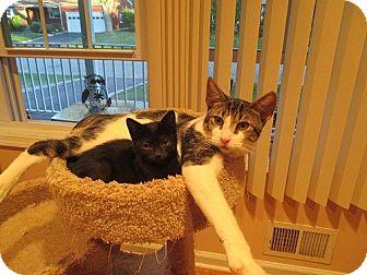 Oriental Kitten for adoption in North Plainfield, New Jersey - Ollie