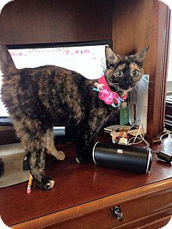 Domestic Shorthair Kitten for adoption in Trevose, Pennsylvania - Monkey