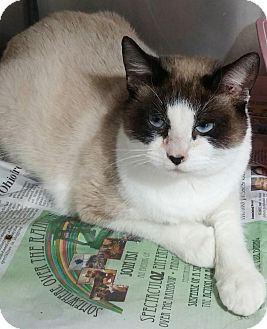 Siamese Cat for adoption in Anderson, South Carolina - Newman
