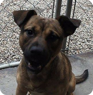Shepherd (Unknown Type) Mix Dog for adoption in Henderson, North Carolina - Fred*