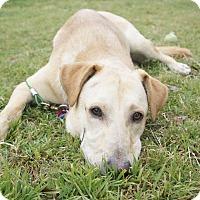 Adopt A Pet :: Major - Austin, TX