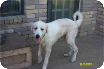 Great Pyrenees Dog for adoption in Kyle, Texas - Belle