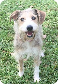 Welsh Terrier Mix Dog for adoption in Boca Raton, Florida - Mila