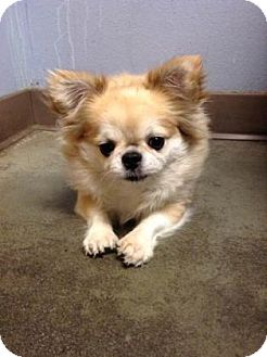 Pug/Papillon Mix Dog for adoption in The Dalles, Oregon - Nibbler