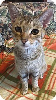 Domestic Shorthair Kitten for adoption in Toledo, Ohio - Dominic