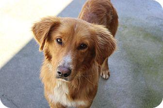 Golden Retriever/Collie Mix Dog for adoption in Lumberton, North Carolina - Baloo