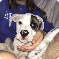 Adopt A Pet :: Felix - KITTERY, ME