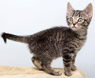 Domestic Shorthair Kitten for adoption in Montclair, New Jersey - Kit Kat