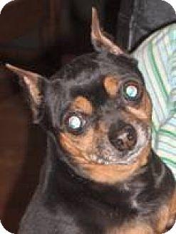 Miniature Pinscher Dog for adoption in Anderson, South Carolina - Gabbie