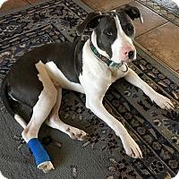 American Pit Bull Terrier/American Pit Bull Terrier Mix Dog for adoption in Bridgeville, Delaware - Gunner