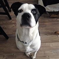 Husky/Labrador Retriever Mix Dog for adoption in Rancho Santa Margarita, California - ZZ-Winston