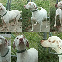 Adopt A Pet :: Three Lemonheads- FOSTER CARE2 - Wood Dale, IL