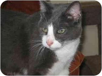 Domestic Shorthair Cat for adoption in Vinton, Iowa - Netta