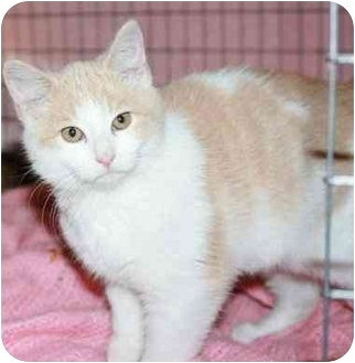 Domestic Shorthair Cat for adoption in E. Claridon, Ohio - Jackson
