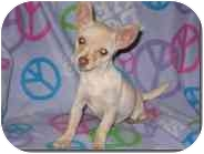 Chihuahua Mix Puppy for adoption in Albuquerque, New Mexico - Isabelle