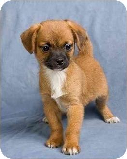 Shih Tzu Mix Puppy for adoption in Anna, Illinois - DENBY