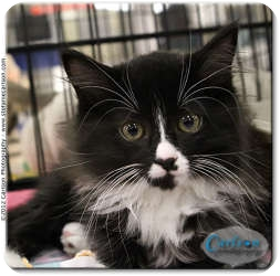 Domestic Longhair Kitten for adoption in Yorba Linda, California - Mustache