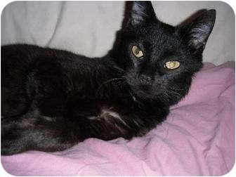 Domestic Mediumhair Cat for adoption in Rancho Palos Verdes, California - Cody