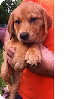 Golden Retriever/Labrador Retriever Mix Puppy for adoption in Midland Park, New Jersey - Fiona