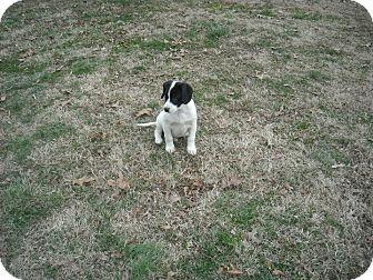 Hound (Unknown Type)/Labrador Retriever Mix Puppy for adoption in Williston, Vermont - Theo (Theodore)