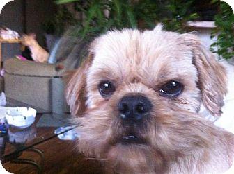 Shih Tzu Mix Dog for adoption in East Hartford, Connecticut - Orville