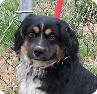 Cocker Spaniel/Australian Shepherd Mix Dog for adoption in Hagerstown, Maryland - Hudson