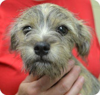 Schnauzer (Miniature) Mix Puppy for adoption in Allentown, Pennsylvania - Cheyenne