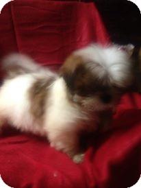Shih Tzu Mix Puppy for adoption in Hazard, Kentucky - Barney
