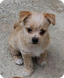 Chihuahua/Pomeranian Mix Puppy for adoption in La Habra Heights, California - Zuby