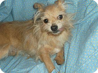 Cairn Terrier/Shih Tzu Mix Dog for adoption in Foster, Rhode Island - Nick