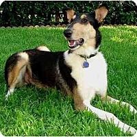 Adopt A Pet :: Shine - Trabuco Canyon, CA
