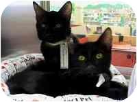Siamese Cat for adoption in tucson, Arizona - Gene
