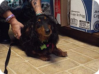 Dachshund Dog for adoption in Murphy, North Carolina - Sadie (Ladybug)