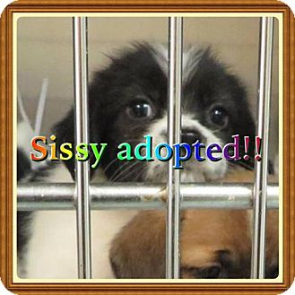 Shih Tzu/Beagle Mix Puppy for adoption in Kenmore, New York - Sissy