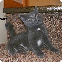 Adopt A Pet :: Gelato - Dover, OH