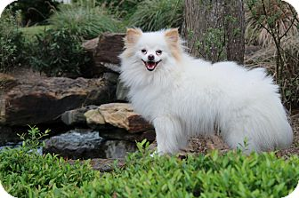 Pomeranian Dog for adoption in conroe, Texas - Cupcake