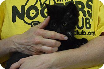 Domestic Shorthair Kitten for adoption in Bucyrus, Ohio - Allegiant